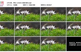 高清实拍视频丨草地上白色的小花随风摆动