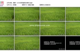 高清实拍视频素材丨摇摄一大片长势茂盛的水稻田