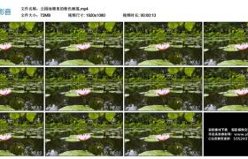 高清实拍视频丨公园池塘里的粉色睡莲