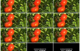 高清实拍视频素材丨阳光照射着菜园里红红的番茄