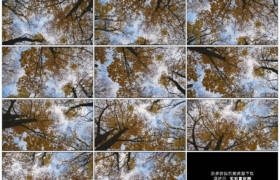 4K实拍视频素材丨旋转仰拍秋天蓝天白云下挂着黄叶的树木