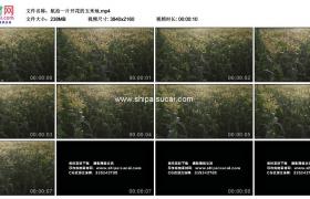 4K实拍视频素材丨航拍一片开花的玉米地