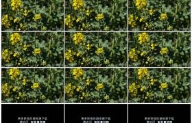 高清实拍视频素材丨蜜蜂在油菜花花朵上收集花粉