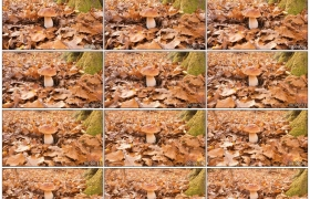 4K实拍视频素材丨特写铺满黄色落叶的地面上长着一朵蘑菇