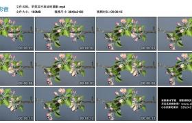 4K视频素材丨苹果花开放延时摄影