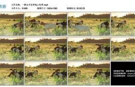 高清实拍视频素材丨一群山羊在草地上吃草