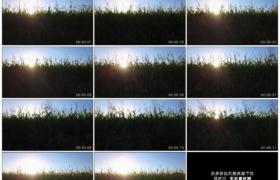 4K实拍视频素材丨航拍阳光照射下开花的玉米地