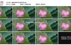 4K实拍视频素材丨蜜蜂采集粉色荷花的花粉