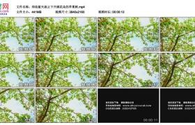 4K实拍视频素材丨仰拍蓝天流云下开满花朵的苹果树