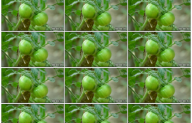 高清实拍视频素材丨菜园里的两个青色番茄特写