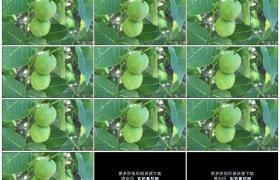 4K实拍视频素材丨特写树枝上挂着的青色核桃