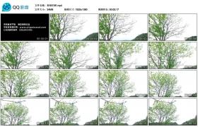 【高清实拍素材】osmo拍摄新绿的树