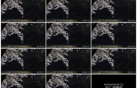 4K实拍视频素材丨春天白色樱花花瓣随风飘飞
