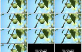 高清实拍视频素材丨特写树枝上挂着一只青色的苹果