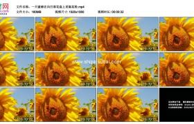 高清实拍视频素材丨一只蜜蜂在向日葵花盘上采集花粉