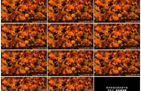 高清实拍视频素材丨秋天阳光照射着黄叶的树叶随风摆动