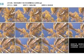 高清实拍视频丨变焦仰拍晴空下秋日阳光照耀的高大白桦树