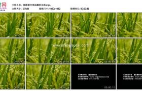 高清实拍视频素材丨摇摄稻田里抽穗的水稻