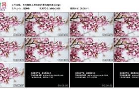 4K实拍视频素材丨春天树枝上粉红色的樱花随风摆动