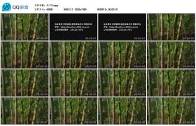 [高清实拍素材]竹子2