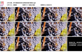 高清实拍视频丨特写葡萄园里阳光照射的紫色葡萄