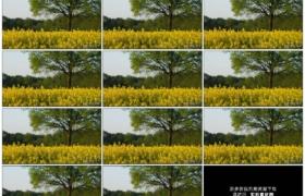 4K实拍视频素材丨春天金黄的油菜花田