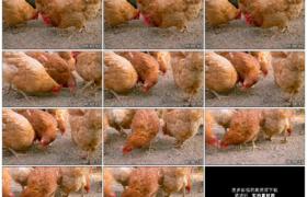 高清实拍视频素材丨一群鸡在地上寻觅谷物进食