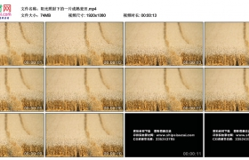 高清实拍视频丨阳光照射下的一片成熟麦田