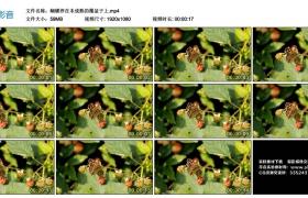 高清实拍视频丨蝴蝶停在未成熟的覆盆子上