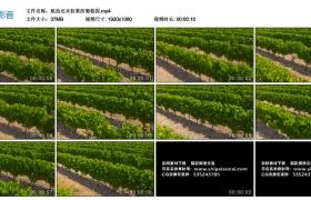高清实拍视频丨航拍还未挂果的葡萄园