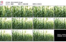 高清实拍视频丨仰拍玉米地里的玉米