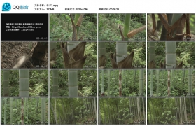 [高清实拍素材]竹子3