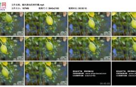 高清实拍视频丨随风摆动的青柠檬