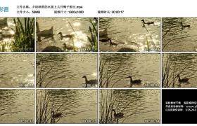 高清实拍视频丨夕阳映照的水面上几只鸭子游过