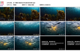 高清实拍视频丨水下摄影 海底的水草及游动的鱼群