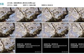 高清实拍视频丨摇摄老樱花树上繁茂的白色樱花