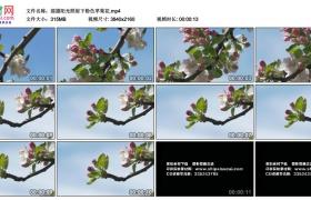 4K实拍视频素材丨摇摄阳光照射下粉色苹果花