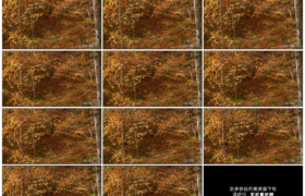 4K实拍视频素材丨秋风起树林里黄叶片片飞落慢镜头