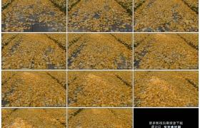 4K实拍视频素材丨秋天石板路面上金黄的银杏树叶