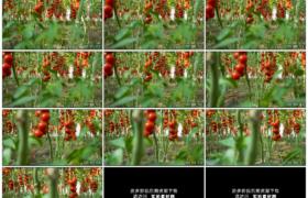高清实拍视频素材丨向左移摄菜园里的红番茄