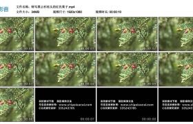 高清实拍视频丨特写黑云杉枝头的红色果子
