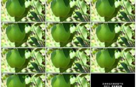高清实拍视频素材丨特写苹果树枝上挂着的青色苹果