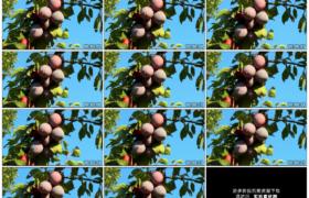 高清实拍视频素材丨蓝天前李子树上挂着累累的果实