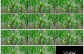 高清实拍视频素材丨菜园里结着的青色西红柿