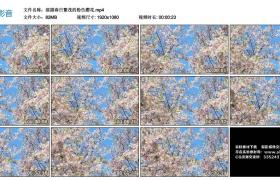 高清实拍视频丨摇摄春日繁茂的粉色樱花