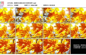 高清实拍视频素材丨摇摄阳光透射过秋天的黄色树叶