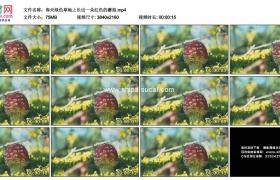 4K实拍视频素材丨春天绿色草地上长出一朵红色的蘑菇