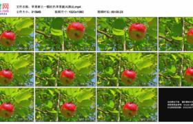 高清实拍视频素材丨苹果树上一颗红色苹果随风摆动