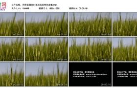 高清实拍视频丨升降拍摄麦田里扬花的青色麦穗