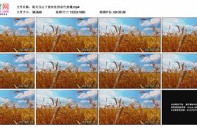 高清实拍视频素材丨蓝天白云下麦田里的金色麦穗